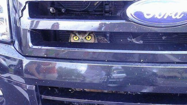 Owl Stuck in Truck Grill - Keeping an Eye on Mileage